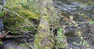 Mouvements de caméra de bas en haut enlevant le vieil arbre couvert de la mousse qui est tombée dans la rivière dans la forêt banque de vidéos