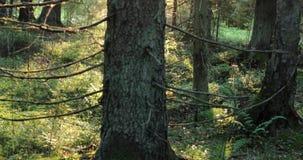 Mouvements de caméra de bas en haut enlevant le vieil arbre dans la forêt pendant la saison d'automne au cours de la journée banque de vidéos