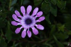 Mouvements giratoires de rose d'Osteospermum Photos libres de droits