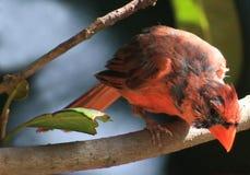Mova-se para o direito-cardinal Foto de Stock