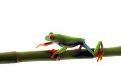 On The Move. Red-Eyed Tree Frog walking on bamboo and isolated on white background Stock Photos
