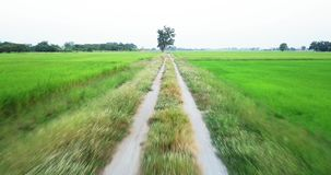 Move along footpath beside two paddy fields. Aerial view Move along footpath go to big tree and fly over the big tree, beside two paddy fields rural scene stock video footage