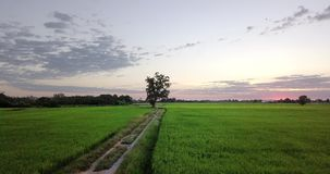 Move along footpath beside two paddy fields. Aerial view Move along footpath go to big tree, beside two paddy fields rural scene Thailand. Morning sunrise time stock footage