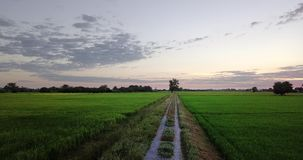 Move along footpath beside two paddy fields. Aerial view Move along footpath go to big tree, beside two paddy fields rural scene Thailand. Morning sunrise time stock video footage
