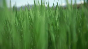 Move along the grass is green. Rich green color stock video