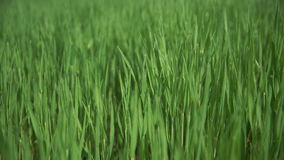 Move along the grass is green. Rich green color stock footage