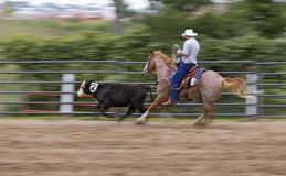 Move that Cow Panning and Motion Blur Stock Images