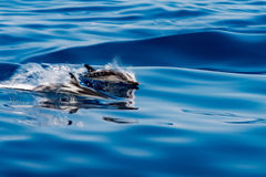 Move effect on Dolphin while jumping in the deep blue sea. Move effect on striped dolphin jumping outside the sea stock photo