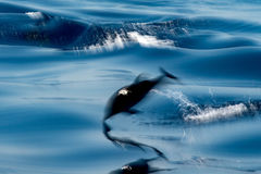 Move effect on Dolphin while jumping in the deep blue sea. Move effect on striped dolphin jumping outside the sea royalty free stock image