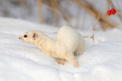 Move of Least Weasel under snowball tree Stock Photos