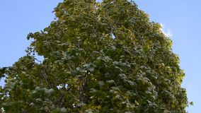 Move the leaves on a strong wind footage. Strong wind often moves leaves and large branches. A shot of the wind moving leaves and branches stock video footage