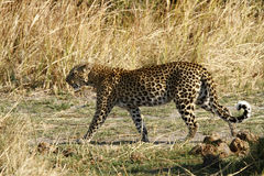 On The Move. Leopards stalk the dried African grass veld in the hope for an easy meal Royalty Free Stock Images