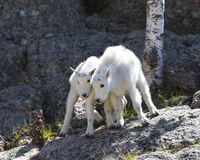 Move Over. Mountain Goat kids on rock cliff Royalty Free Stock Photos