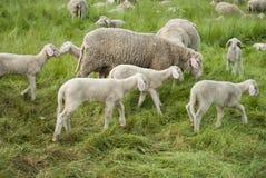 On the Move. Sheep farm - sheep and lambs Stock Photos