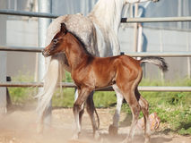 Moveing  arabian little foal with mom. Israel Stock Photos