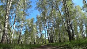 Movement along the path in a birch grove, taken from a low point stock footage