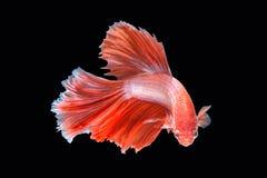 Movement of Betta fish. Siamese fighting fish, betta splendens isolated on black Stock Photos