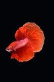 Movement of Betta fish. Siamese fighting fish, betta splendens isolated on black Royalty Free Stock Photos