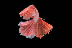 Movement of Betta fish. Siamese fighting fish, betta splendens isolated on black Stock Photo