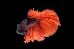 Movement of Betta fish. Siamese fighting fish, betta splendens isolated on black Stock Photography
