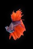 Movement of Betta fish. Siamese fighting fish, betta splendens isolated on black Royalty Free Stock Photography