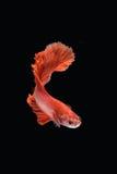 Movement of Betta fish. Siamese fighting fish, betta splendens isolated on black Royalty Free Stock Images