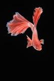 Movement of Betta fish. Siamese fighting fish, betta splendens isolated on black Royalty Free Stock Photo