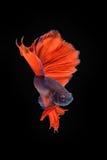 Movement of Betta fish, siamese. Fighting fish, betta splendens isolated on black Royalty Free Stock Photography