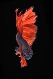 Movement of Betta fish. Siamese fighting fish, betta splendens isolated on black Stock Image
