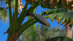 Flower banana on a tree against a bright blue sky. Movement of the camera along the flower of a banana on a tree against a bright blue sky stock footage