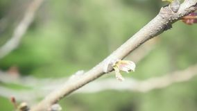 A branch with young leaves wobbles and the camera moves upwards slow motion. Movement of the camera up the branch with young leaves in a blurred background slow stock video