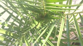 Green palm leaves. Movement from closeup to away on green palm leaves stock video