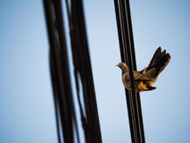 Movement of The Dove. On The Wire Royalty Free Stock Photo