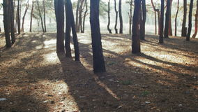 The Movement in the Forest Between Trees against the Sun stock footage