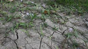 Movement of grass and Thai Morning Glory on cracked ground in dry season stock video