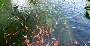 Movement group of colorful koi fish in clear water. This is a species of Japanese carp in small lakes in the ecological tourist attractions Royalty Free Stock Image