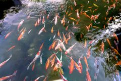 Movement group of colorful koi fish in clear water. This is a species of Japanese carp in small lakes in the ecological tourist attractions Stock Photo