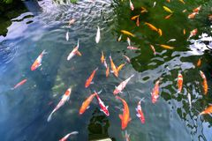 Movement group of colorful koi fish in clear water. This is a species of Japanese carp in small lakes in the ecological tourist attractions Stock Images