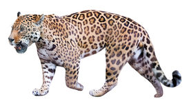 Movement jaguar. Jaguar leisurely strolls. Isolated over white background Royalty Free Stock Photography