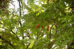 Movement of leaf on branch of tamarind tree. From motion of wind in garden Stock Image