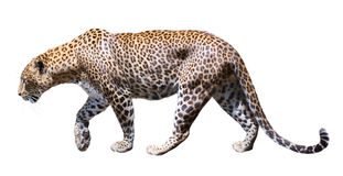 Movement leopard Royalty Free Stock Images