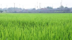 Movement of rice sprout stock footage