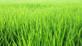 Movement of rice sprout