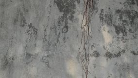 The movement of the roots with wind force on concrete wall background stock video