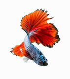 Movement tail of red siamese fighting fish stock photos