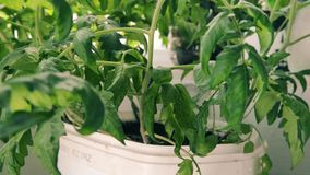 Tomato plant leaves moving after watering. Movement of the tomato leaves after watering the soil stock video