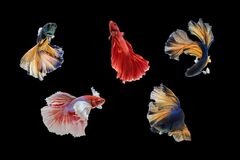 movements of the Siamese fighting fish. Royalty Free Stock Photo