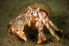 Mover hacia atrás de cangrejo de ermitaño bajo el agua en Mar del Japón Fotos de archivo
