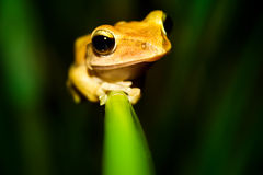 It Moves Forward. The frog just lost its way Royalty Free Stock Images