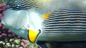 Movie clip - Coral fish Sohal surgeonfish (Acanthurus sohal) with coral reef stock footage